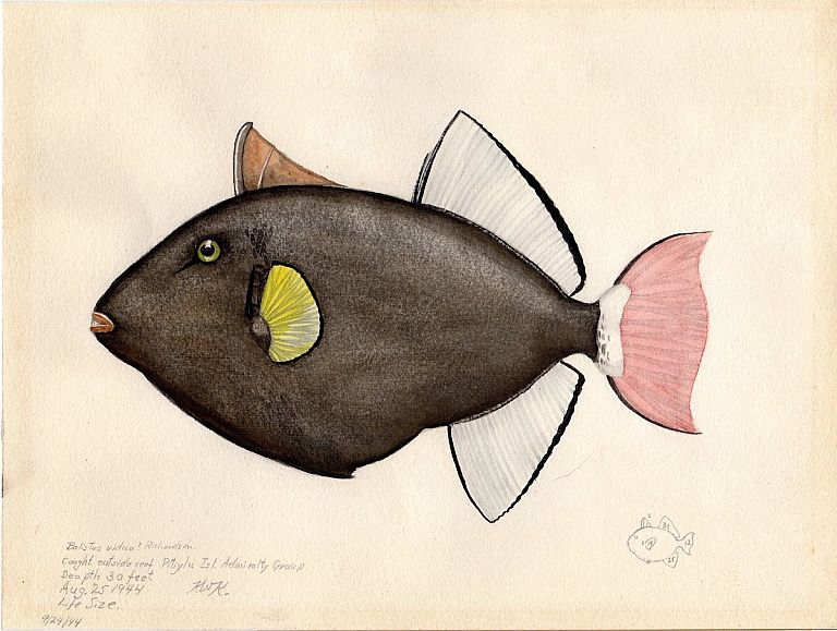 Archive of 64 Original Watercolor Drawings and Artworks of Fish, Marine and Bird Wildlife; Asia Pacific Islands, Wartime Deployment. Karl Walton Kenyon.