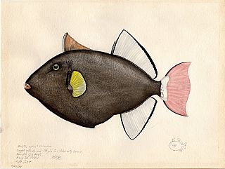 Archive of 64 Original Watercolor Drawings and Artworks of Fish, Marine and Bird Wildlife; Asia...