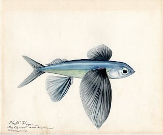 Archive of 64 Original Watercolor Drawings and Artworks of Fish, Marine and Bird Wildlife; Asia Pacific Islands, Wartime Deployment